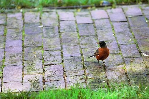A robin visits the Jacqueline Kennedy Garden in the South Grounds of the White House during the 2004 fall season. White House photo by Tina Hager.