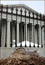 Duck nested outside Treasury building