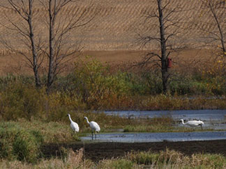 Whooping cranes use a re-established wetland in north central Iowa. (Greg Hanson, Indiana Department of Natural Resources)