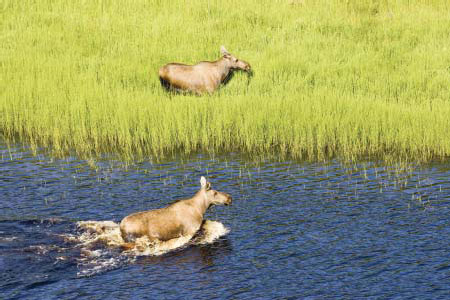 Moose on Selawink National Wildlife Refuge, Alaska. (Hillebrand, FWS)
