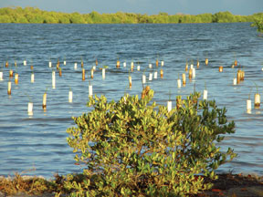 Mangrove forest restoration project in Puerto Rico. (FWS)