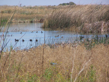 Early fall migrants on recently enhanced wetland on the Frasher Farms, North San Joaquin Valley, California. (FWS)