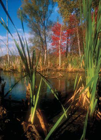 Freshwater emergent marsh with healthy forested buffer (photo by Jim Newton).