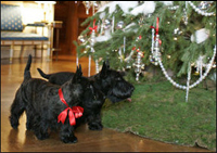 Barney and Miss Beazley visit the White House Christmas Tree in the Blue Room, Thursday, Nov. 30, 2006.