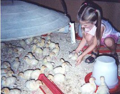 National Thanksgiving Turkey contestants hatched on July 10th in a turkey barn in the Carthage, Missouri area.