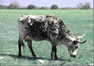 Photo of Ofelia, the longhorn