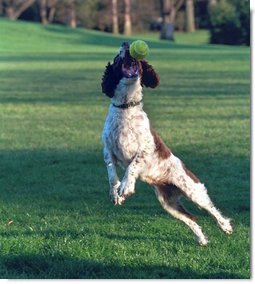 Spot leaps to catch a tennis ball on the South Lawn, April 3, 2001.  White House photo by Eric Draper