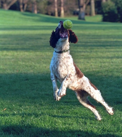 Spot leaps to catch a tennis ball on the South Lawn, April 3, 2001. White House photo by Eric Draper.