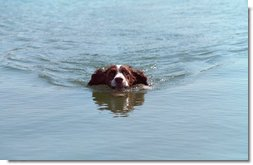 Spot goes for a swim at the Bush Ranch in Crawford, Texas, April 15, 2001.  White House photo by Eric Draper