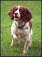 "Spot ""Spotty"" Fetcher, an English Springer Spaniel is photographed on the South Lawn, May 28, 2001. White House photo by Paul Morse."