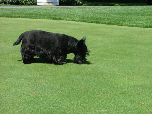 Barney, the President's Scottish Terrier, looks for his golf ball on Tuesday afternoon on the South Lawn of the White House. May 4, 2004