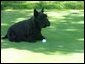 Barney, the President's Scottish Terrier, plays with his golf ball on Tuesday afternoon on the South Lawn. May 4, 2004