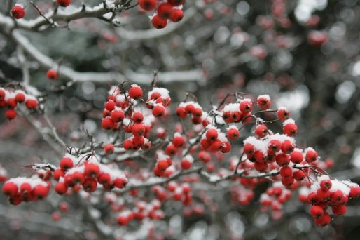 Snow settles softly on every branch and berry in the Rose Garden during the first snowfall of the season Monday, Dec. 5, 2005. White House photo by Shealah Craighead
