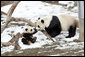 Giant Panda, Mei Xiang, plays with son, 7 month old Tai Shan, Tuesday, Feb. 14, 2006, at the Smithsonian National Zoological Park in Washington, DC. Tai Shan was born on July 9, 2005, and weighs over 33lbs. White House photo by Shealah Craighead