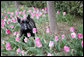 A sure sign of spring, Barney checks out the Laura Bush tulips in the First Ladies' Garden, Tuesday, March 21, 2006 at the White House. White House photo by Shealah Craighead
