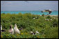 "Mrs. Laura Bush toured Midway Atoll and viewed many albatross birds on the Northwest Hawaiian Islands National Monument, Thursday March 1, 2007. The short-tailed albatross facing the camera is a long-time resident of the island and standing with two decoy birds. ""He's been here about five years,"" said Mrs. Bush of the lonely bird. ""He's 20 years old. They know because he was banded in Japan on the island where he was. Of course, they are hoping to attract some young short-tailed albatross. That's why the decoys are here also, so there will be a mating pair here."" President Bush designated the Northwest Hawaiian Islands National Monument on June 15, 2006, and is the single largest conservation area in U.S. history and the largest protected marine area in the world. White House photo by Shealah Craighead"