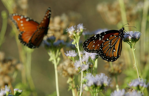 During the fall and spring months monarch butterflies stop at President Bush's ranch in Crawford, Texas, during their annual migration. Texas lies between two primary breeding grounds in North America and Mexico. Each year thousands of monarch butterflies migrate from the North, spending the winter in the warmer climate of Mexico. White House photo by Chris Greenberg