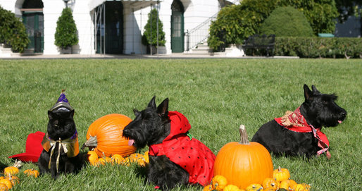 The White House pets, India, Miss Beazley and Barney, get ready for a Boo-tiful Halloween Wednesday, Oct. 31, 2007, as they sit for photos on the South Lawn of the White House. Being very patient, from left, are India, as the wizard; Miss Beazley, as a strawberry, and Barney, as a cowboy. White House photo by Shealah Craighead