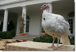 May, the 2007 National Thanksgiving Turkey, awaits the official pardoning Tuesday, Nov. 20, 2007, during festivities in the Rose Garden of the White House. White House photo by David Bohrer