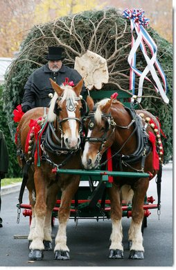"Scott D. Harmon of Brandy Station, Va., drives a horse-drawn carriage with horses ""Karry and Dempsey""delivering the official White House Christmas tree Monday, Nov. 26, 2007, to the North Portico of the White House. The 18-foot Fraser Fir tree, from the Mistletoe Meadows tree farm in Laurel Springs, N.C., will be on display in the Blue Room of the White House for the 2007 Christmas season. White House photo by Joyce N. Boghosian"