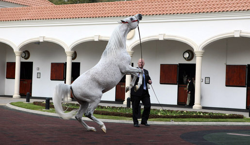A trainer presents one of the prized horses of Saudi King Abdullah bin Abd al-Aziz Al Saud, during a viewing of the King's horses for President George W. Bush, Tuesday, Jan. 15, 2008 at the monarch's ranch in Al Janadriyah, Saudi Arabia. White House photo by Eric Draper